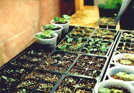 Доморощенные семена.