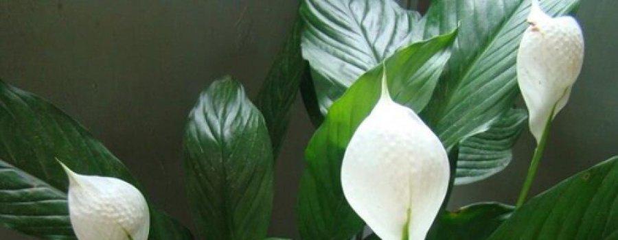 Эти растения – кислородные бомбы. Хотя бы одно должно быть в вашем доме.