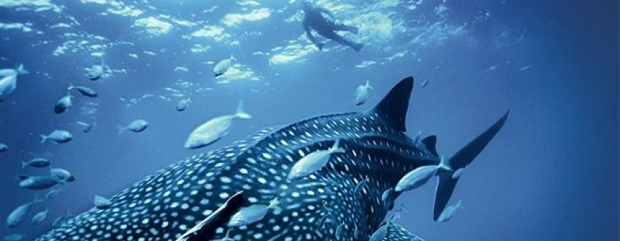 Китовая акула попросила о помощи и дайвер рискнул жизнью!